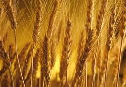 TMO 252 bin ton buğday ithal edecek: Amaç ekmek fiyatını frenlemek