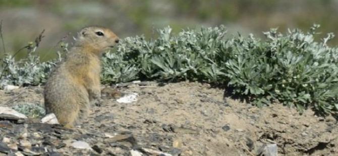 Tarla sincapları küresel ısınmayı hızlandırıyor