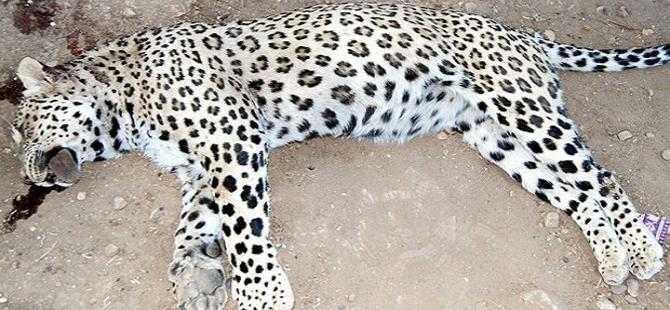 Leoparı vuranlara beraat